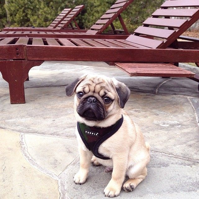Camo Puppia Soft Harness Available At Www Ilovepugs Co Uk Sizes S
