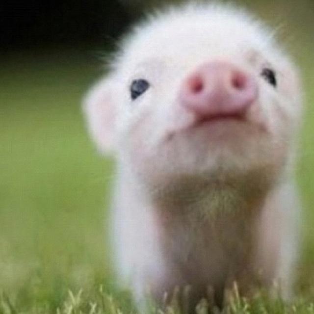 Teacup pig!!!!!