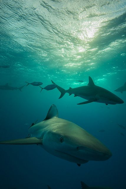 2013 Bahamas 32339 Fish Tales reef shark by tdpriest on Flickr.