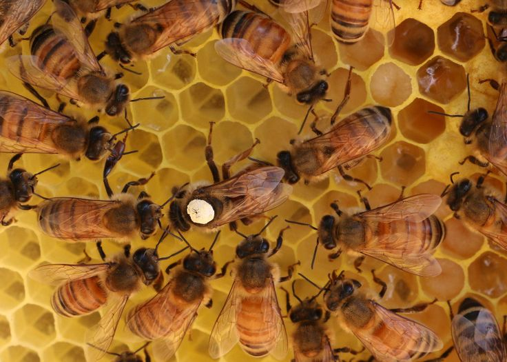 65 best images about Bees & Beekeeping on Pinterest ... - photo#24
