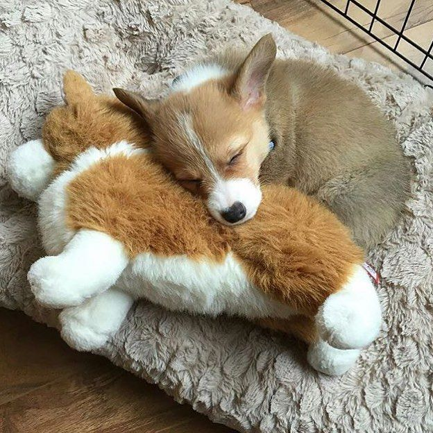 Monday vibes  Photo by: @angus.the.corgi  Follow @animaladdicts  by puppysketch