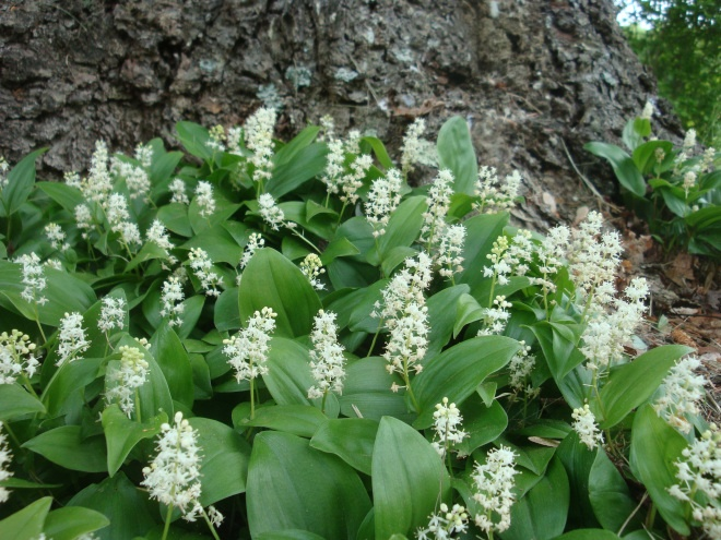 Canada Mayflower, False Lily of the Valley, Maianthemum canadense.