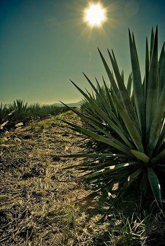 Tequila, Jalisco. Paisajes agaveros.  Twitter: @cavatequila Web: cavatequila.com.mx