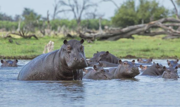 A hippo's sweat acts as a sunblock, moisturizer and an anti-biotic  Hippos secrete a reddish oily fluid – sometimes called pink sweat – that contains substances which act as water repellent, sunblock, skin moisturizer as well as an antibiotic