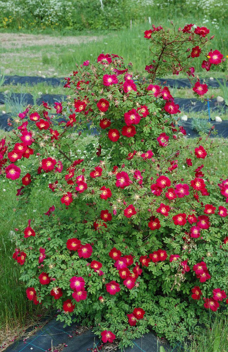 Tove Jansson - Rosa pimpinellifolia - Hongiston TaimistoHongiston Taimisto