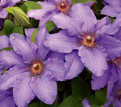 97 best flower clematis images on pinterest beautiful flowers clematis parisienne white flower farm 3 4f vine mightylinksfo