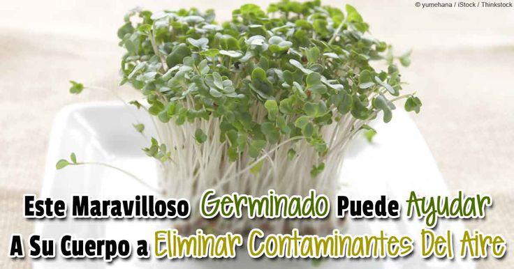El germinado de broccoli fresco es más potente que el broccoli entero. Descubra todos sus beneficios saludables…