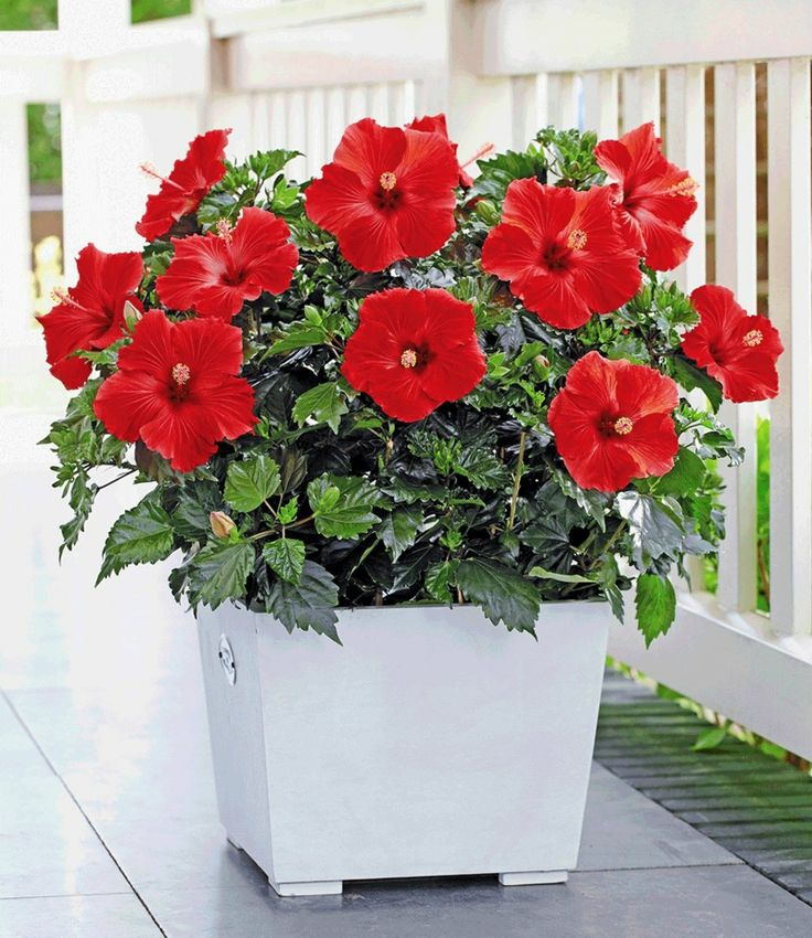 Der Artikel gibt Auskunft über 13 schöne blühende Zimmerpflanzen, die nicht anspruchsvoll und leicht zum Pflegen sind.