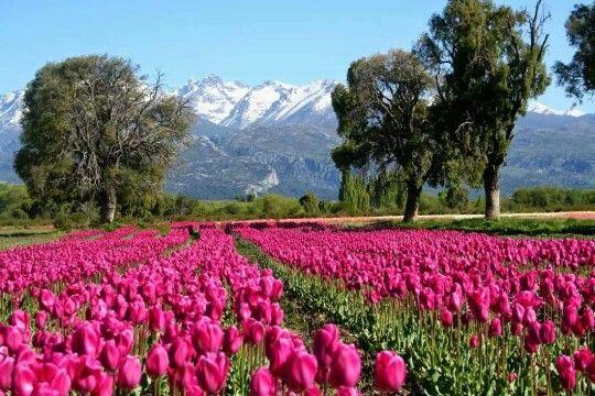 Tulipanes. Trevelinen laprovincia del Chubut.