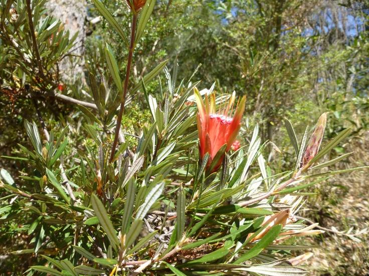 Lambertia formosa. Native to Australia.
