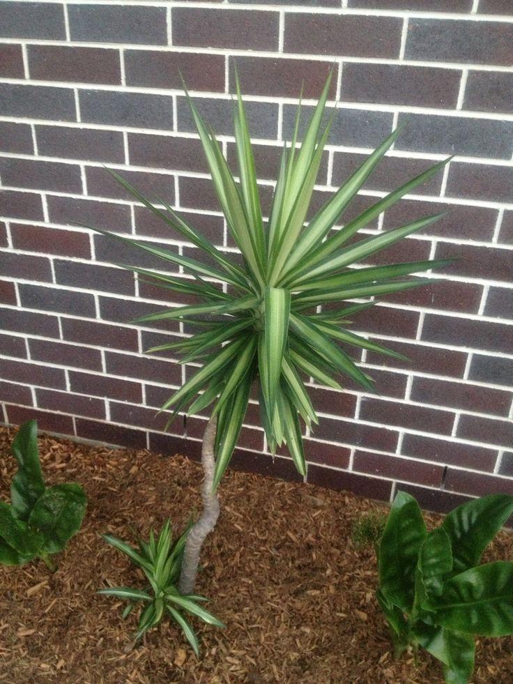 The 25+ best Yukka plant ideas on Pinterest   Large indoor ...