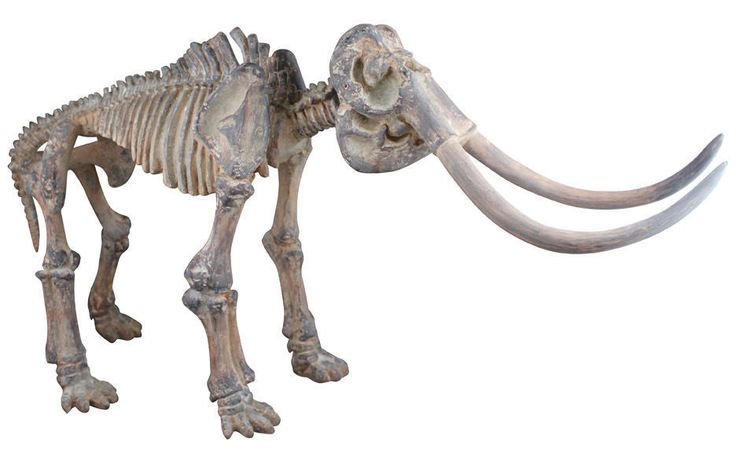 Amazing Replica Mammoth Fossil Skeleton - looks real - a real talking point !!