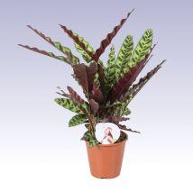 Lándzsás zebralevél, Calathea lancifolia 40 cm magas 17cs