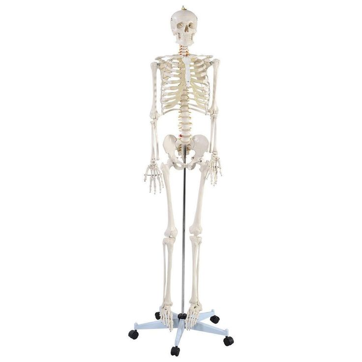 This is our Life Sized Skeleton Model which is perfect for doctors, chiropractors, acupuncturist, physical therapist etc. Comes with removable and movable parts, this Skeleton Model is convenient for studying anatomy for adults. | eBay!