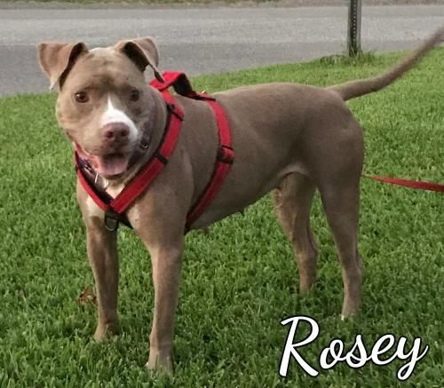 Rosey is an adoptable Dog - Pit Bull Terrier Mix searching for a forever family near Spanish Fort, AL. Use Petfinder to find adoptable pets in your area.