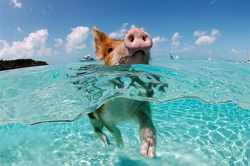 """Pig Beach"" also known as ""Big Major Cay"" is an uninhabited island located in Exuma, Bahamas known for being populated by swimming pigs. Would you take a dip with these guys?"