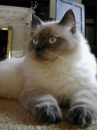 For a Cats: Kittens Cat Ragdoll - Cat Breeds Favorite | Cat Foods, Cat Healthy and Treatments, Cat Insurance, Cat Breeds