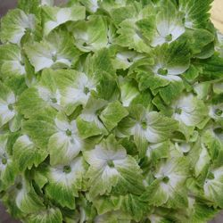 Hydrangea Magical Noblesse®. WOW! A green and white flowered mophead hydrangea!