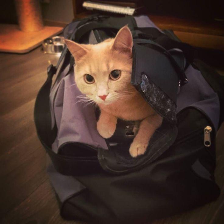 Meinasin nostaa treenin jälkeen hikisen judopuvun pois kassista mutta sinne olikin ehtinyt majoittua tällainen pieni #kissa  #judolife