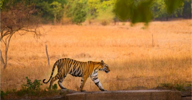 Visit one of the nature parks while on a MICE trip to India and spot the tigers  #HiTours #India #Travelmediate