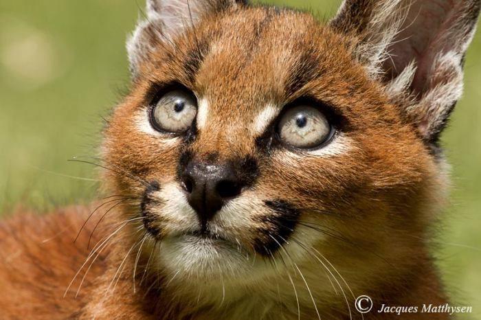 Feit of fictie: een caracal wordt soms ook woestijnlynx genoemd vanwege de pluimpjes op zijn oren? Weet jij het antwoord?