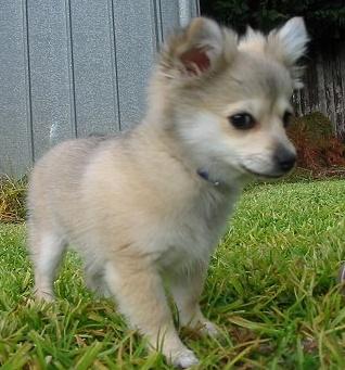Pomeranian + Chihuahua = adorable