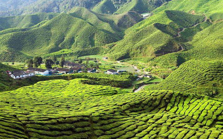 Download wallpapers Cameron Highlands, 4k, tea plantations, hills, summer, Malaysia, Asia