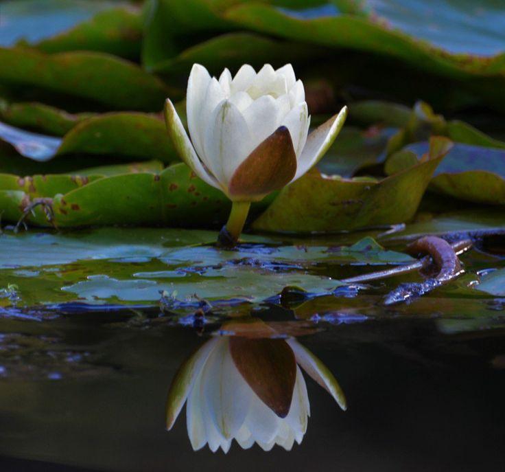"akhan2001: "" Lotus' s reflection. """