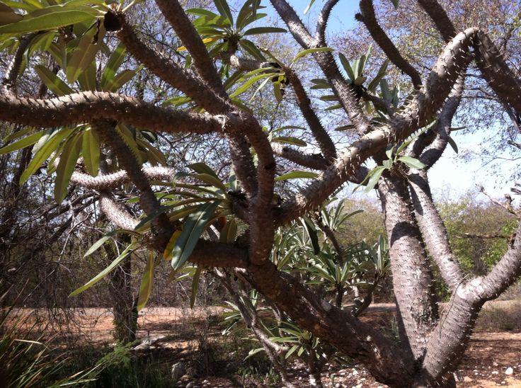 veo_veo, detalle paquipodium o para de elefante, Jardín Botanico, Maracaibo.