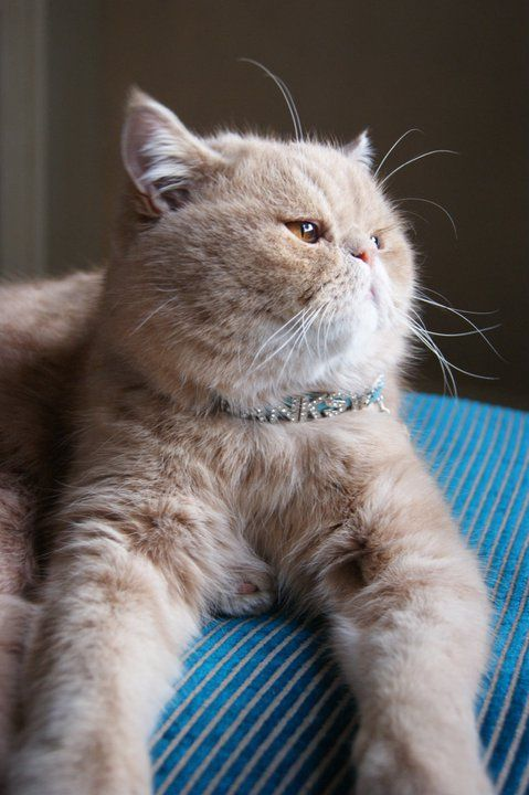 Banksy Moon Persian Tom cat who climbed out of ground floor window of his Belgravia apartment. Recovered by Pet Detective from a basement courtyard with broken hip