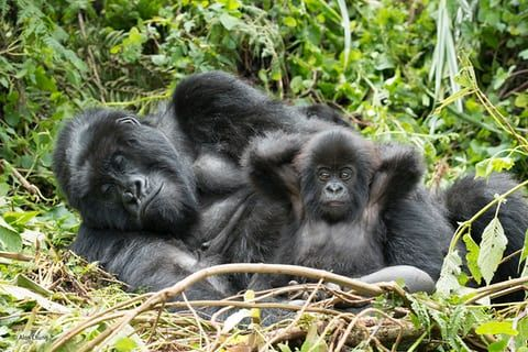 """Kick back and chill by Alan Chung, US 'After more than two hours hiking with rangers in Volcanoes national park, Rwanda, Alan came across the """"Hirwa"""" family group (meaning """"the lucky one""""). This group of 16 mountain gorillas is led by a single strong silverback. They were feeding on young bamboo shoots and relaxing in a leafy open spot.'"""