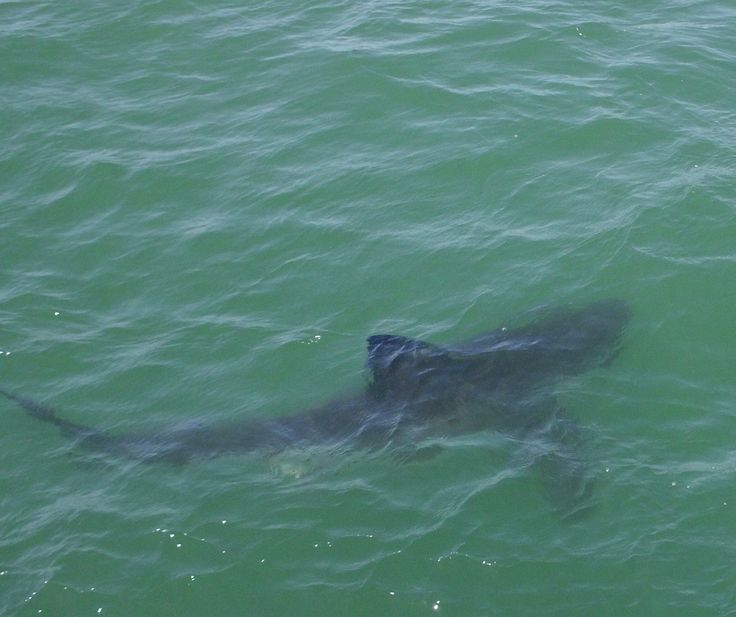 Great White Shark from safety of boat! Fabulous day trip with Chris & Monique Fallows of Apex Predators Simon's Town SA