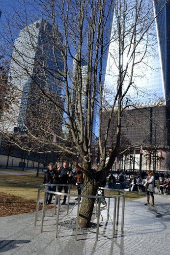 Мемориал 911, Нью Йорк Сити, Нью Йорк.  Дерево, которое пережило атаку, такой вот символ оптимизма и воли к жизни. Остается только посмотреть на это дерево и постараться быть таким же стойким.