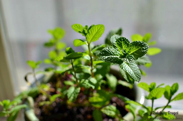 5 Dos and Don't for Planting Herbs. Simple advice to help your container herb garden thrive so you can have fresh herbs any time for any recipe or dish!