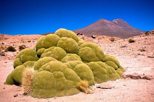 3,000 Year Old Yareta Plant