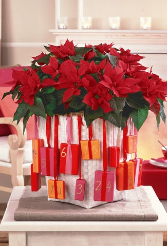 how to keep a poinsettia year round