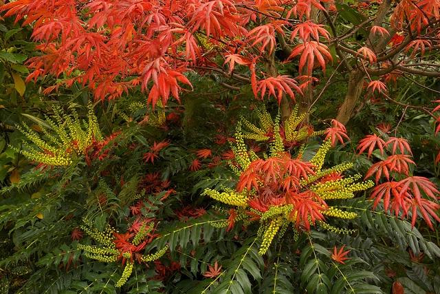 Mahonia japonica 'Charity'