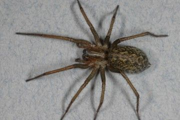 An image of a hobo spider. Whether the bites of the hobo spider are toxic to people has been a matter of scientific debate, but a new study suggests the spider's venom may be less harmful than many people think.