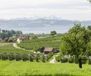 Vineyard view towards the Bodensee, Baden