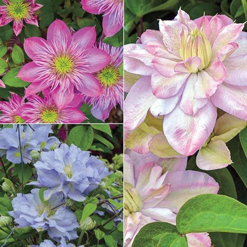 All Summer Clematis Collection Vines| Spring Hill Nurseries