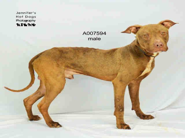 EU DATE WED., 10/19/16- SUPER URGENT -This DOG - ID#A007594 I am a neutered male, brown and white Staffordshire Bull Terrier. My age is unknown. I have been in shelter care since Jun 23, 2016. This information was refreshed 10 minutes ago and may not represent all of the animals at the Fort Bend County Animal Services Shelter.