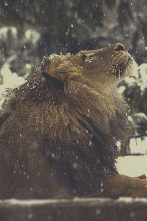 ライオンと雪