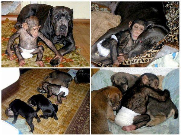 La+hermosa+historia+del+bebé+chimpancé+y+su+madre+adoptiva