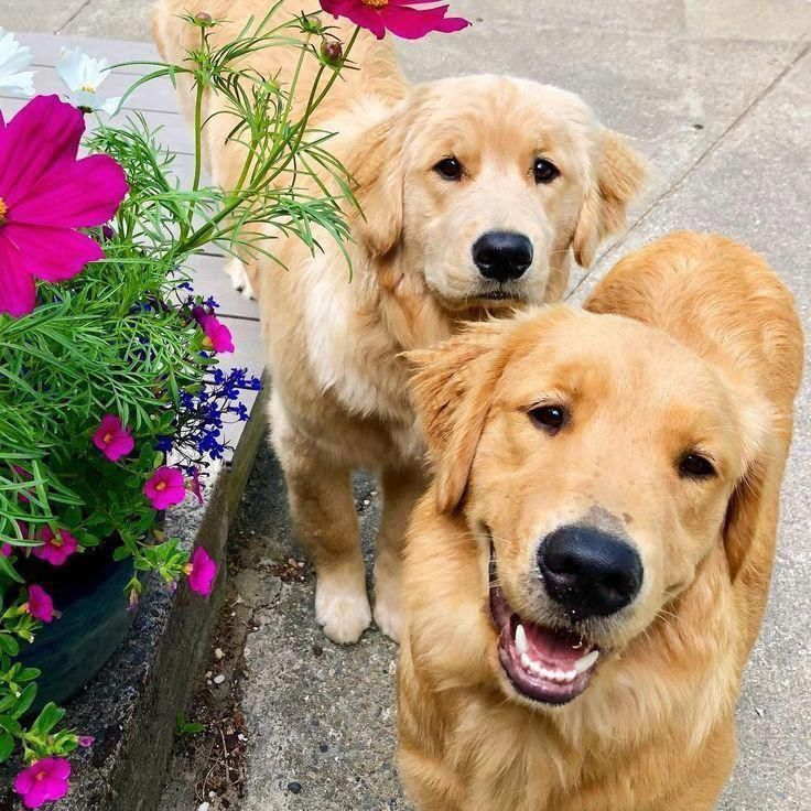 All The Things I Respect About The Friendly Golden Retriever Puppy