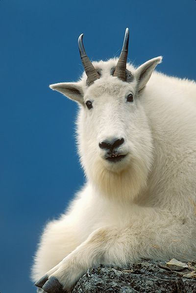 Mountain Goats are not true goats but they are close relatives. They are more properly known as goat-antelopes. These surefooted beasts inhabit many of North America's most spectacular alpine environments.