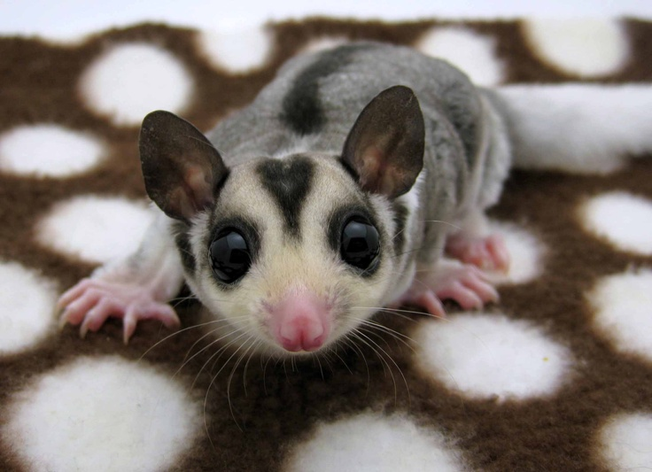 57 best images about My Sugar Glider Babies on Pinterest ...