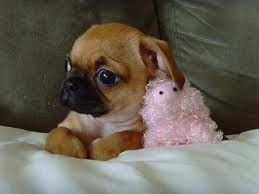Chug puppy (Chihuahua Pug mix). I have one - a very good dog and cute
