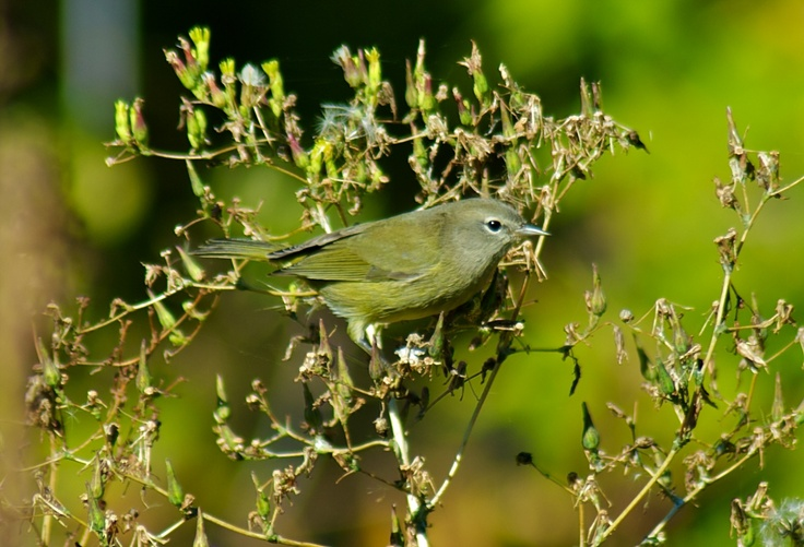 Orange-crowned Warbler photographed at Chambers Bay WA.
