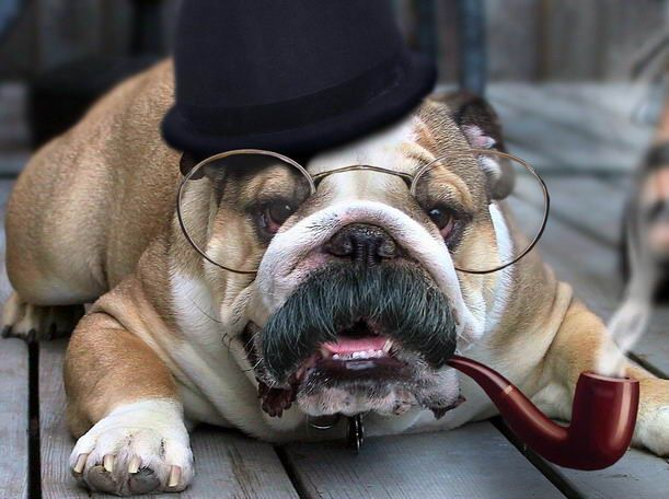love bulldogs!: Funny Dogs, Like A Sir, Dogs Breeds, English Bulldogs, Future Baby, Baby Dogs, Dogs Pictures, Sherlock Holmes, Tops Hats
