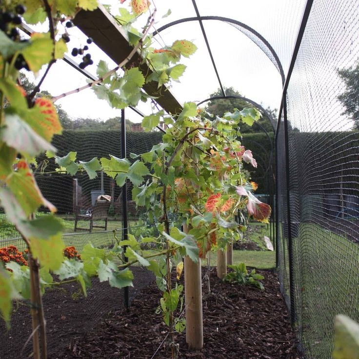 The frame of the Walk-In Steel Corridor Cage is manufactured from 25mm square x 1.5mm thick steel, both galvanised and powder coated black and has a 10 year guarantee, whilst the protective extra heavy-duty 19mm x 19mm knotted premium quality crop protection netting will keep hungry birds on the outside all summer long.